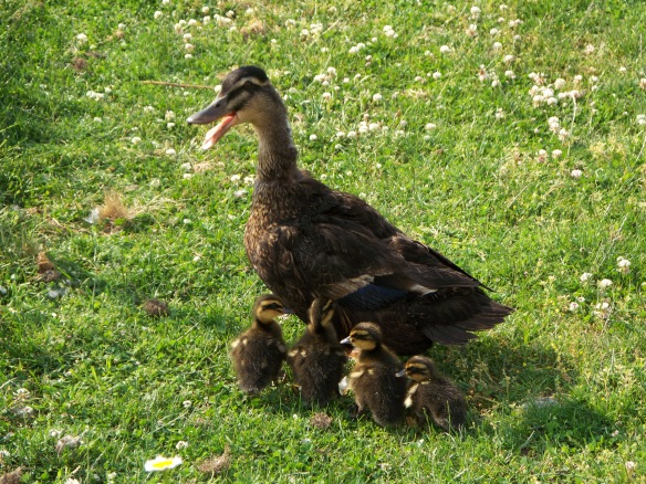 Ducklings 016