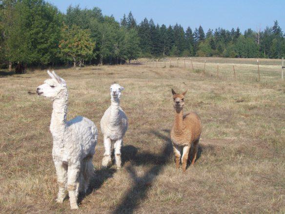 Alpacas Pasture