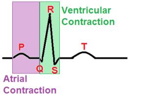 ecg contractions